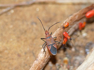 This is African cotton stainer Dysdercus fasciatus. (Photo Credit: Martin Kaltenpoth / Max Planck Institute for Chemical Ecology)