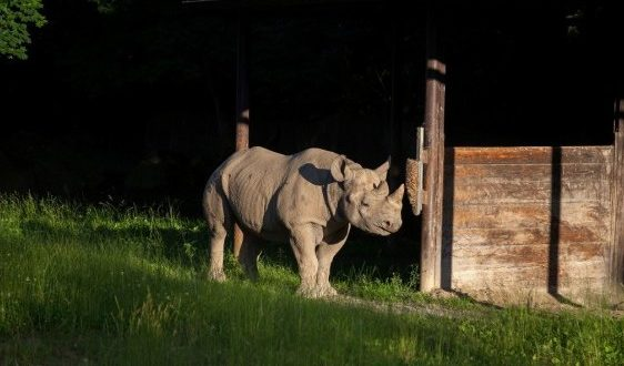 DHL Delivers Black Rhino Eliska to Africa